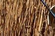 Sagne (reed harvesting)_Syndicat Mixte Camargue Gardoise