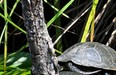 European Pond Turtle_N.ROBERT (PNR Corse)