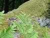 Royal fern beside an acid soil beech forest_SYCOPARC